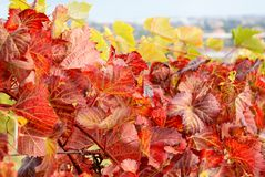 Yellow and red leaves Stock Photos