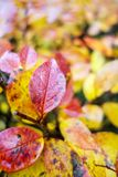 Yellow and red autumn leaves Royalty Free Stock Photos