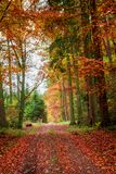 Yellow and red leaves in the autumn forest, Poland. Europe royalty free stock images