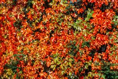 Yellow and red leaves in autumn Royalty Free Stock Photography
