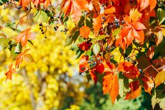 Yellow and red leaves in autumn Stock Image