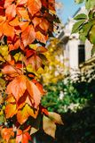 Yellow And Red Leaves In Autumn Royalty Free Stock Image