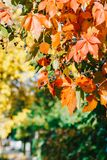 Yellow And Red Leaves In Autumn Royalty Free Stock Photos
