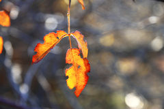 Yellow and red leaves on the branch in the autumn forest Royalty Free Stock Photos