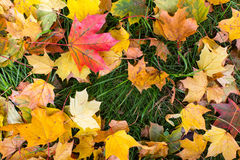 Yellow and red leaves on green grass Stock Image