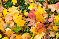 Yellow and red leaves on green grass Royalty Free Stock Images