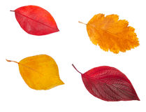 Yellow and red leaves Royalty Free Stock Image