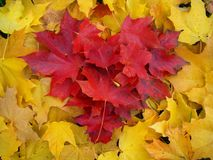 Yellow and red leaves of maple lie in the shape of the heart. stock photos