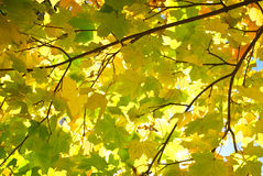 Yellow and red leaves on trees in autumn park Royalty Free Stock Photo