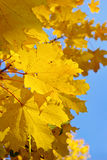 Yellow and red leaves on trees in autumn park Stock Image