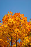 Yellow and red leaves on trees in autumn park Stock Photos
