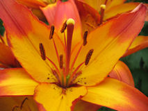 Yellow with red lily. Close-up picture of  yellow lily Stock Photo