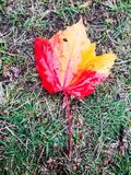 Maple Leaf. Yellow and  red maple leaf in this autumn season Royalty Free Stock Photography