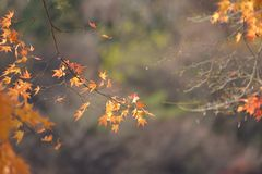 Yellow Red maple leaf fall winter. Korea stock photography