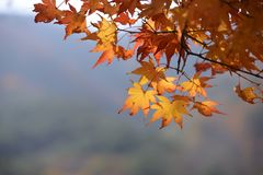 Yellow Red maple leaf fall winter. Korea royalty free stock photo