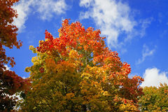 Yellow and red of maple leaves in autumn on  background of blue Stock Photography