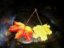 Yellow red  maple leaves flow in river. Dried fallen leaves Royalty Free Stock Photography