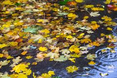 Yellow and red maple leaves in puddle under the rain. Maple leaves in puddle. Overcast day. Autumn motif Royalty Free Stock Photo