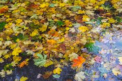 Yellow and red maple leaves in puddle under the rain. Maple leaves in puddle. Overcast day. Autumn motif Royalty Free Stock Photography