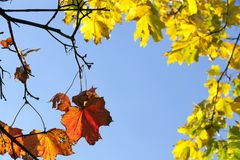 yellow and red maple stock images