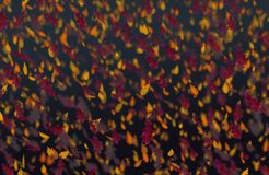 Yellow and red oak leaves autumn dark pink background. Yellow and red falling oak leaves autumn dark background royalty free stock photography