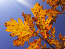 Yellow and red oak leaves under sun rays down view Stock Photos
