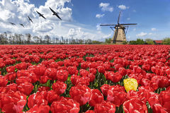 Yellow among red ocean. Geese flying above a loneliness of an yellow tulip among an ocean of red color tulips Stock Photo