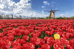 Yellow among red ocean. A loneliness of an yellow tulip among an ocean of red color tulips stock photos