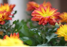 Yellow, red, and orange chrysanthemums stock photography
