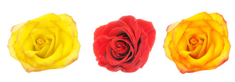 The yellow red and orange roses Stock Photos