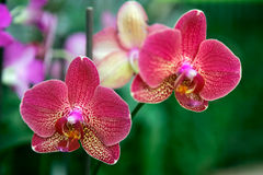 Yellow red orchid Stock Photo