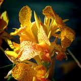 Yellow and red orchid. Detail of yellow and red orchid royalty free stock image
