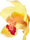 Yellow and red orchid flower illustration Stock Photos