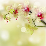 Yellow and red orchid flowers. Close up on defocused background royalty free stock photography