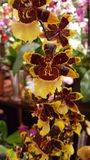 Yellow red orchid Stock Photography