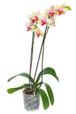 Yellow and red orchid in pot. Isolated on white background stock photo