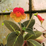 Yellow and red orchid with red dots. Naples, Italy - April 24, 2017: one yellow and red orchid with red dots, with dark green leaves and small buds, in the royalty free stock photography