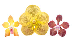 Yellow and red orchids Royalty Free Stock Photo
