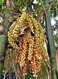 The yellow and red palm fruit . Royalty Free Stock Photos