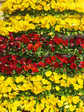 Yellow and red pansies Royalty Free Stock Images