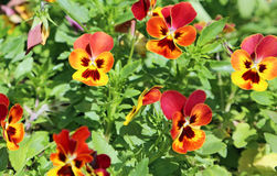Yellow and red pansy flowers Stock Images