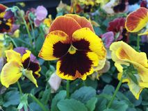 Yellow and red pansy Royalty Free Stock Images