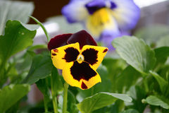 Yellow and red pansy Royalty Free Stock Photo