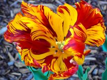 Yellow and red parrot tulip cool background royalty free stock images