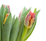 Yellow and red parrot tulips Stock Photos