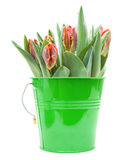 Yellow and red parrot tulips Stock Image