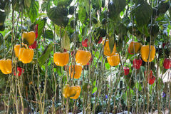 Yellow and red pepper capsicum on the pepper tree Stock Image