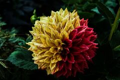 Yellow Red Petal Flower Royalty Free Stock Photos