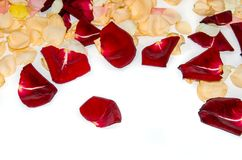 Yellow and red petal roses. Isolated royalty free stock photography