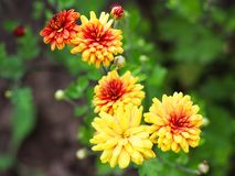 Yellow with red petals dahlias in the garden. Nature stock image